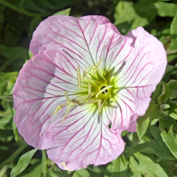 Выращивание энотера розовая 37